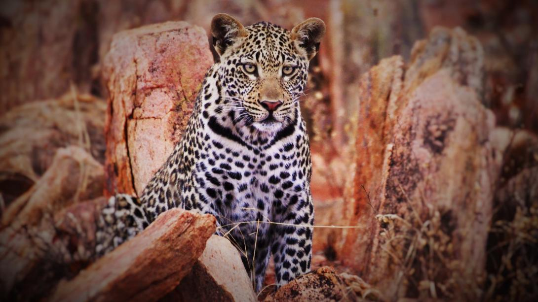 A leopard spotted by volunteers at the Wildlife Conservation project in Botswana.